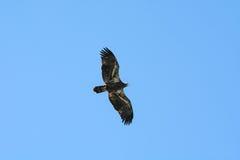 Jeune aigle photos libres de droits