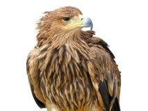 Jeune aigle brun images stock
