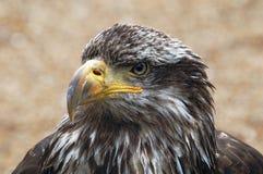Jeune aigle chauve Photographie stock libre de droits