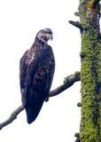 Jeune aigle chauve. photographie stock