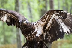 Jeune aigle chauve images stock
