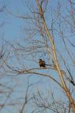 Jeune aigle chauve Image libre de droits