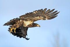 Jeune aigle chauve en vol Image stock