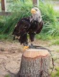 Jeune aigle chauve se reposant sur un tronçon d'arbre dehors photographie stock
