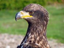 Jeune aigle chauve, Vancouver Photos stock