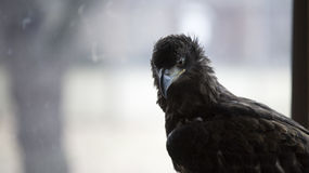 Jeune aigle devant la fenêtre Image stock