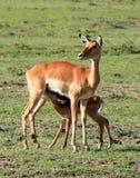Jeune alimentation d'impala photo libre de droits