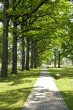 Jeune allée d'arbres de chênes Photographie stock libre de droits