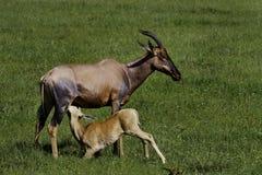 Jeune allaitement de Topi, masai Mara Photo libre de droits
