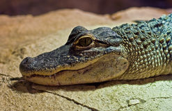 Jeune alligator Images stock