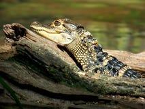 Jeune alligator exposant au soleil sur le logarithme naturel Images stock