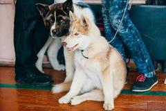 Jeune Américain heureux de Husky Puppy Eskimo Dog And Photo stock