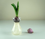 Jeune ampoule de jacinthe dans le vase en verre Image stock