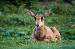 Jeune antilope de sable Image stock
