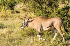 Jeune antilope femelle dans la savane de Samburu images stock