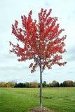 Jeune arbre d'érable Photographie stock libre de droits