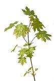 Jeune arbre d'érable Image stock
