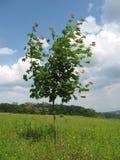 Jeune arbre d'érable Images libres de droits