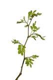 Jeune arbre d'acacia Image libre de droits