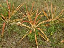 Jeune arbre d'ananas Photographie stock