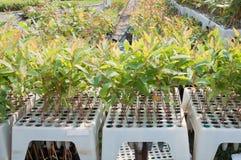 Jeune arbre d'eucalyptus Photographie stock