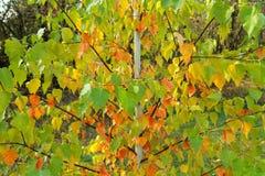 Jeune arbre de bouleau avec les feuilles rouges, jaunes et vertes Autum lumineux Photographie stock