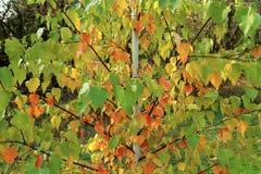 Jeune arbre de bouleau avec les feuilles rouges, jaunes et vertes Autum lumineux Photos stock