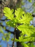 Jeune arbre de chêne Image stock