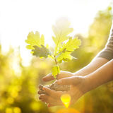 Jeune arbre de chêne dans des mains. Photographie stock