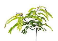 Jeune arbre de fuite de siamea de séné Photo stock