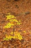 Jeune arbre de hêtre Photo libre de droits