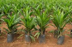 Jeune arbre de palmier à huile Images libres de droits