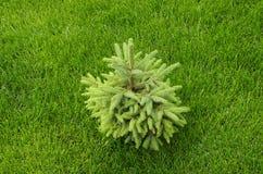 Jeune arbre de pin Photographie stock libre de droits