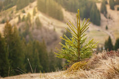 Jeune arbre de pin Images libres de droits