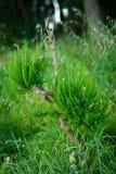 Jeune arbre de pin sauvage, rené après coupe-vent photographie stock