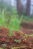 Jeune arbre de pin sur la terre Image libre de droits