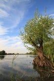 Jeune arbre de saule sur le lac Images libres de droits