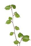 Jeune arbre de tilleul Photo libre de droits
