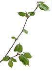 Jeune arbre de tilleul Photographie stock libre de droits