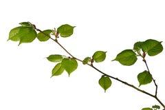 Jeune arbre de tilleul Photographie stock