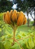Jeune arbre de tulipe africain Photographie stock