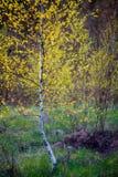 Jeune arbre mince de bouleau image stock