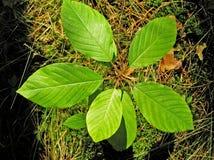Jeune arbre. Nerprun. images libres de droits