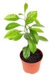 Jeune arbre orange à la maison Images stock