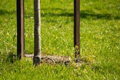 Jeune arbre planté avec des enjeux sur le fond d'herbe photo libre de droits