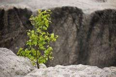 Jeune arbre sur la roche Photo stock