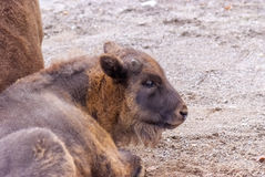 Jeune aurochs européen image stock