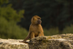 Jeune babouin Photos stock