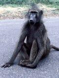 Jeune babouin de Chacma sur la route de parc national de Kruger Photographie stock libre de droits