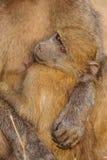 Jeune babouin de Chacma (ursinus de Papio) Photo stock